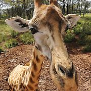 Rothschild's giraffe (Giraffa camelopardalis rothschildi) in Nairobi, Kenya. Captive Animal