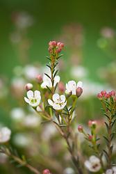 Waxflower. Chamelaucium