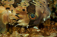 Freckled Porcupinefish (Diodon holocanthus)<br /><br />Canales de Afuera Islands<br />Coiba National Park<br />Panama