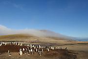 In ihrem Verbreitungsgebiet in der Antarktis und Subantarktis brüten die Eselspinguine (Pygoscelis papua) in kleinen Kolonien zwischen August und März. |  Within their range in the Antarctic and Sub-Antarctic the Gentoo Penguin (Pygoscelis papua) breeds in small colonies between August and March.