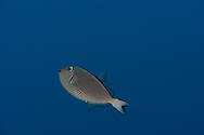 Gilded Triggerfish Gilded Triggerfish, Xanthichthys auromarginatus, (E. T. Bennett, 1832), Molokai, Hawaii