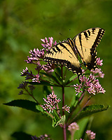 Tiger Swallowtail Butterfly. Sourland Mountain Preserve. Image taken with a Nikon D800 camera and 300 mm f/2.8 lens (ISO 100, 300 mm, f/2.8, 1/3200 sec).