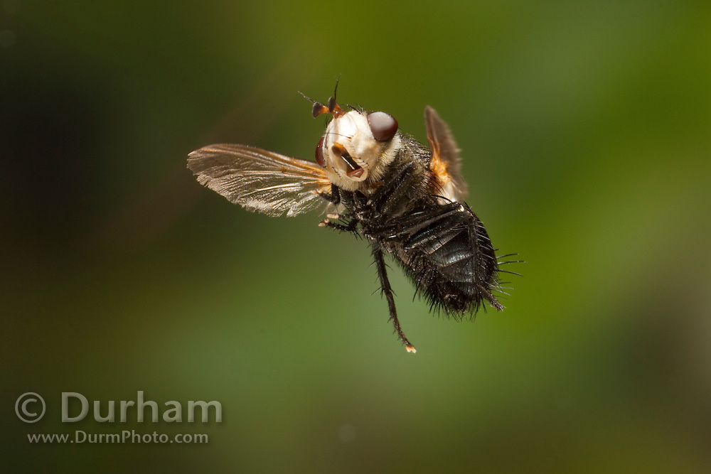 a white-headed fly (Archytas apicifer) in flight, Texas. Photographed in 1/50,000th of second with a high-speed camera.