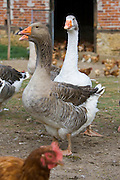 Fattened Toulouse geese, Gascony, France. Free-range birds may be at risk if Avian Flu (Bird Flu Virus) spreads
