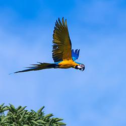 Arara-canindé (Ara ararauna) fotografado no Parque Nacional da Chapada dos Veadeiros - Goiás. Bioma Cerrado. Registro feito em 2015.<br /> ⠀<br /> ⠀<br /> <br /> <br /> <br /> <br /> <br /> ENGLISH: Blue-and-yellow Macaw photographed in Chapada dos Veadeiros National Park - Goias. Cerrado Biome. Picture made in 2015.