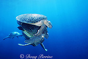 mating green sea turtles, Chelonia mydas, are joined by another male (underneath) for a menage a trois while a third male approaches from behind, Sipadan Island, Borneo, Malaysia  ( Celebes Sea, Pacific Ocean )