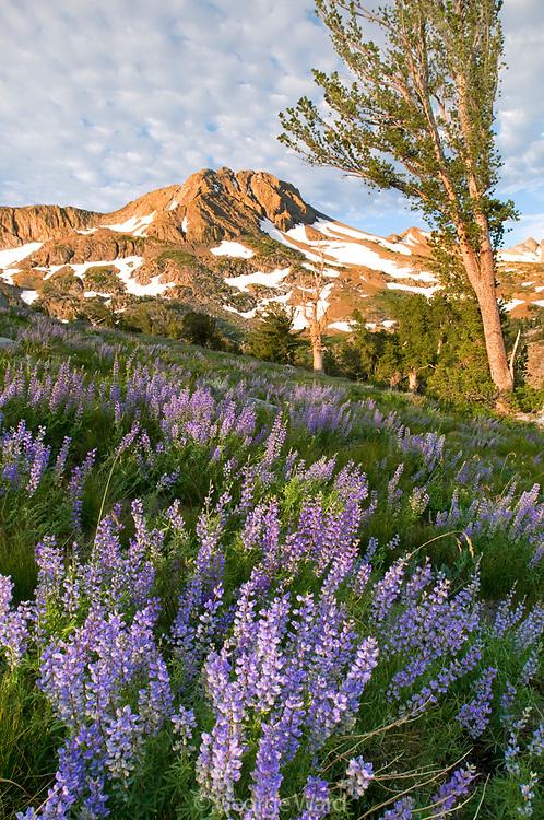 Morning Light on Mountain, Lupine and Lodgepole Pine, Mokelumne Wilderness, Eldorado National Forest, California