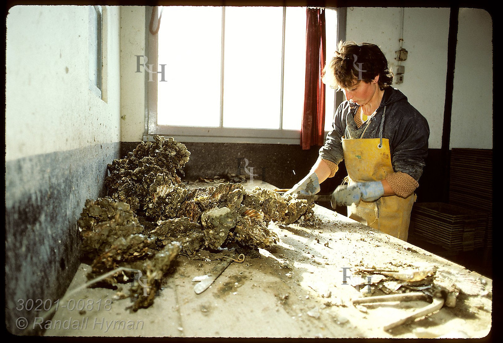 Girl pries Japanese osyter from plastic tube on which it grew, to be sorted & sold; Morbihan. France