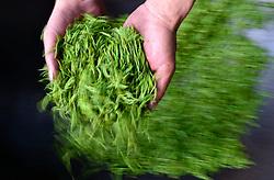 THEMENBILD - Bei der traditionellen Produktion von Schwarztee, orthodoxe Teeproduktion genannt, durchlaufen die Teeblätter fünf Stufen: das Welken (Withering), damit die Blätter weich und zart werden, das Rollen (Rolling), das Aussieben, die Oxidation und zum Schluss die Trocknung (Firing). Um die Blätter nach dem Pflücken zu erweichen, wurden sie früher zwei Stunden in die Sonne gelegt. Später verwendete man Welkhürden in speziellen Hallen, in denen eine Temperatur von 20 bis 22 °C herrschte. Der Welkprozess dauerte dann bis zu 24 Stunden. Heute werden meistens so genannte Welktunnel eingesetzt, die die Teeblätter auf Fließbändern durchlaufen. Die Stärke der Welkung wirkt sich (im umgekehrten Verhältnis) auf den Grad der später erzielbaren Oxidation aus. Aufgenommen in Zhongcunba am 7. April 2016 // A worker stirs tea leaves in a cooking pot at high temperature in Zhongcunba Village of Xuan'en County, central China's Hubei Province, April 7, 2016. EXPA Pictures © 2016, PhotoCredit: EXPA/ Photoshot/ Song Wen<br /> <br /> *****ATTENTION - for AUT, SLO, CRO, SRB, BIH, MAZ, SUI only*****