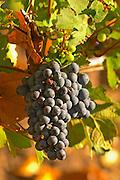 Cabernet Sauvignon grape bunch in the Chateau Margaux vineyard in Bordeaux