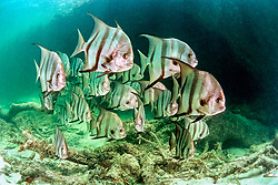 Atlantic spadefish, Chaetodipterus faber, Sands Cut, Biscayne National Park, Florida, USA, Atlantic Ocean