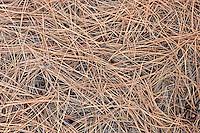 fallen Ponderosa Pine needles (Pinus ponderosa)