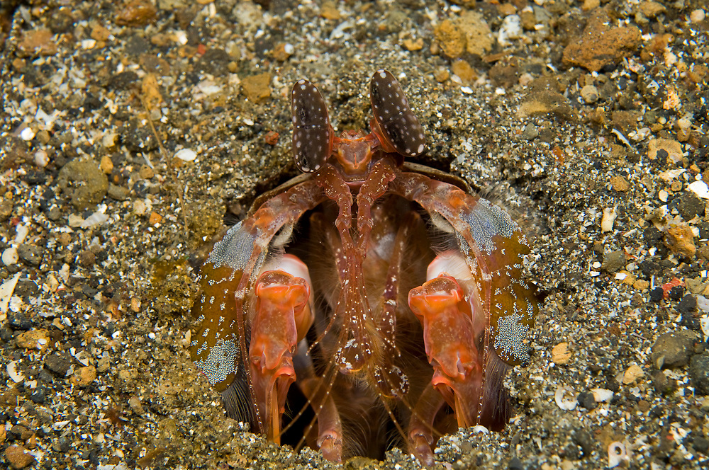 Spearing Mantis Shrimp (Lysiosquillina lisa) in Lembeh Straits, Indonesia