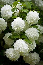 Viburnum opulus 'Roseum' syn. 'Sterile' AGM.  Snowball tree, Guelder rose
