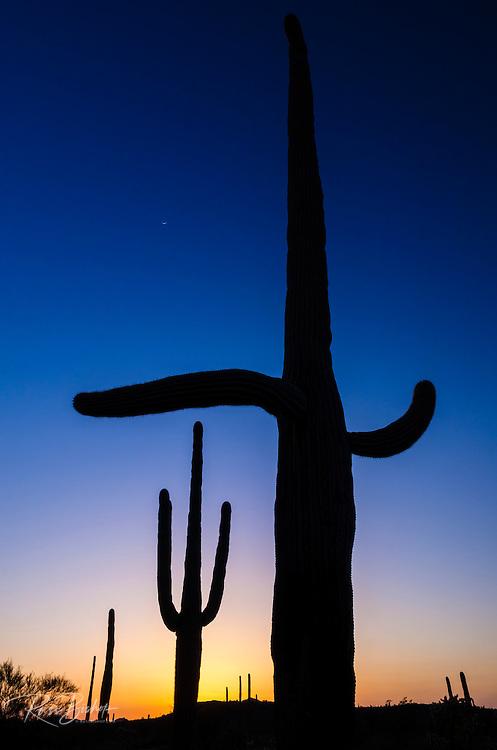 Saguaro cactus at sunset, Organ Pipe Cactus National Monument, Arizona USA