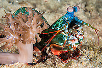 A Mantis Shrimp pauses briefly behind a soft coral<br /> <br /> Shot in Indonesia