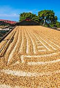 Coffee beans drying in the sun, Kona Coast, The Big Island, Hawaii USA