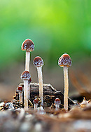 A small group of Mycena mushrooms in the Fraser Valley of British Columbia, Canada