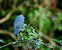 Little Blue Heron perched on a branch in Big Cypress Swamp. Image taken with a Nikon Df camera and 400 mm f2.8 lens (ISO 800, 400 mm, f/4, 1/100 sec).