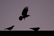 Crows gather at twilight on Dec. 5, 2020, in Middletown, N.Y.