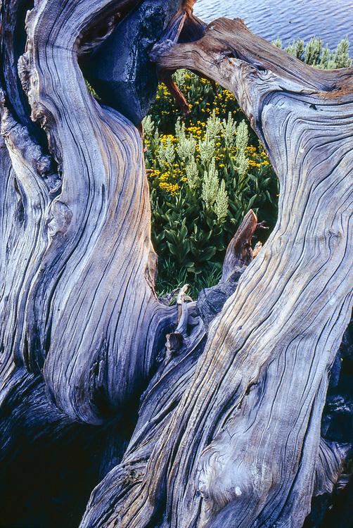 Weathered tree sculpure and hellebore wilflowers, Half Moon Lake, Desolation Wilderness, California, USA