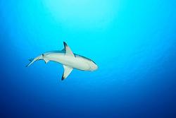 Carcharhinus amblyrhynchos, Grauer Riffhai, Grey reef shark, Lakkadiven See, Indischener Ozean, Maradhoo, Gan, Addu Atoll, Malediven, Asien, Laccadive Sea, Maldives, Indian Ocean, Asia