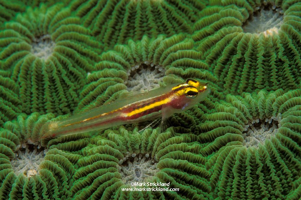 Yellow and Whitestriped Pygmygoby, Eviota mikiae, resting on boulder coral. Similan Islands, Thailand, Andaman Sea