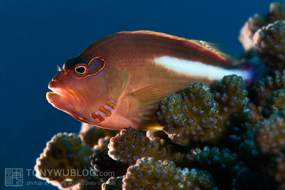 This is an arc-eye hawkfish (Paracirrhites arcatus) observing the reef from a favored spot.