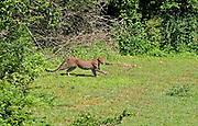 Leopard emerging from dense bush cover and moving across open ground, Yala National Park, Sri Lanka
