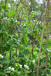 Pea 'Alderman' growing up cane support. Pisum sativum