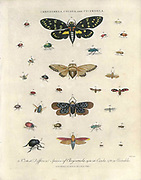 Chrysomela (leaf beetles), Cicada (Hemiptera) and Cicindela (common tiger beetles) Handcolored copperplate engraving From the Encyclopaedia Londinensis or, Universal dictionary of arts, sciences, and literature; Volume IV;  Edited by Wilkes, John. Published in London in 1810