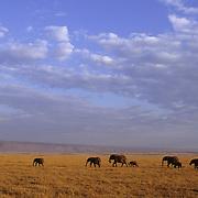 African Elephant (Loxodonta africana) herd on the Serengeti Plains. Masai Mara National Reserve, Kenya