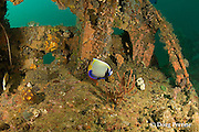 emperor angelfish, Pomacanthus imperator, on the wreck of the San Quentin or San Quintin, a Spanish gunboat sunk in 1898 during the Spanish-American War between Grande and Chiquita Islands at the entrance to Subic Bay,<br /> Philippines; wreckage is scattered over a reef at a depth of 9-18 m