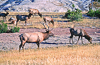 Bull elk watching over his harem during the rutting season.  Yellowstone National Park, Wyoming