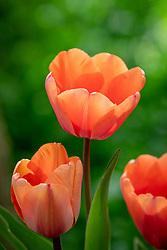Tulipa 'Apricot Impression'