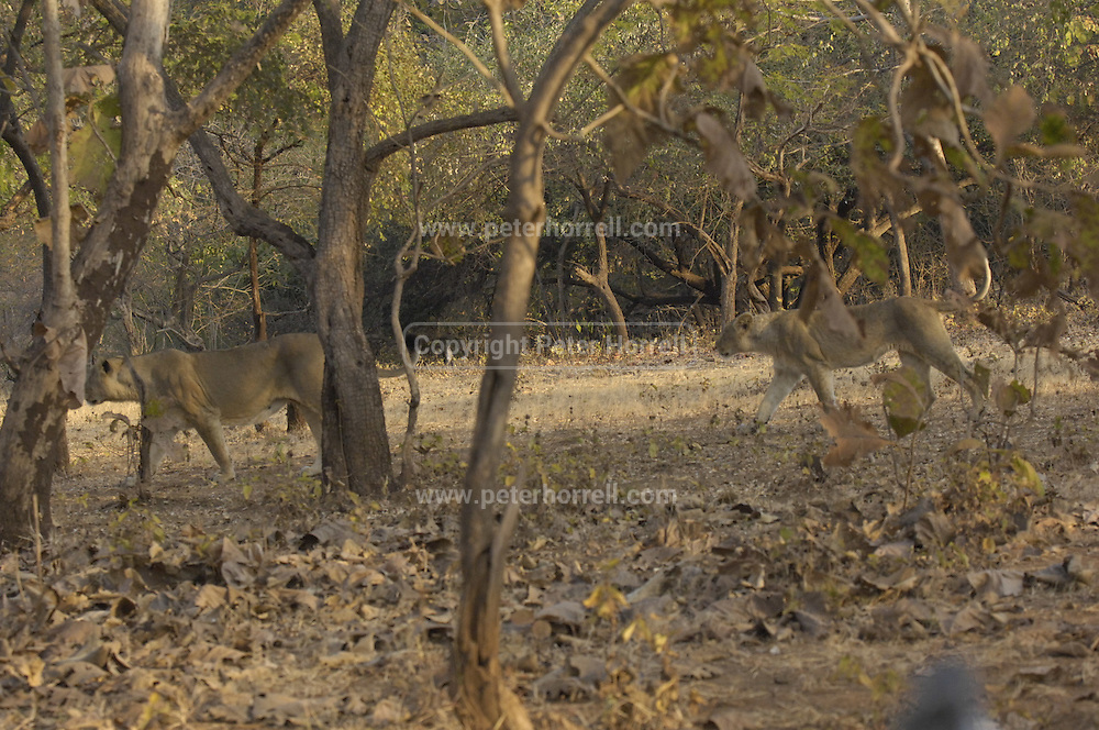 Images from Gir National Park. The park is most notably known as the home of Asiatic lions (anthera leo persica).