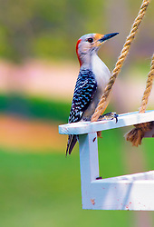 A Red-Bellied Woodpecker perched on the side of a white feeder swing, ready to grab a bite.