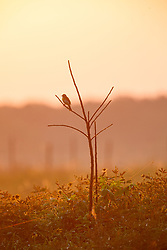 Dickcissel perched against sunrise on Daphne Prairie, a remnant of the Blackland Prairie, Mount Vernon, Texas, USA.