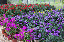 Heliotropium arborescens 'Marine', Pentas and Bourgainvillea in the glasshouse at Butterfly Jungles.