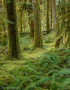 Sword Ferns and moss covered the understory along Lillian River.