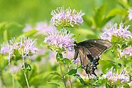 03023-03219 Eastern Tiger Swallowtail (Papilio glaucus) female black form on Wild Bergamot (Monarda fistulosa) Marion Co. IL