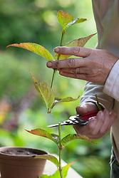 Taking greenwood cuttings from Hydrangea serrata 'Diadem'. Trimming