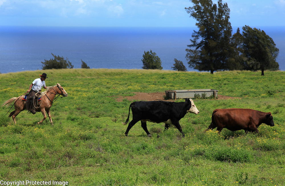 """Sonny Keakealani, one of the most respected cowboys in the community and patriarch of the Keakealani family, chases a few stray cows while moving a group of cattle from one pasture to another in Honakaa, Hawaii.  Sonny has mentored many younger cowboys over the years and while now offiially retired from Parker Ranch, still works a few days a week for a ranch in Honakaa and is often called on by old friends and ranch owners to help out with branding, weaning and moving cattle. """"I first learned how (to ride) when I was three years old.  My dad used to bellypack me on his horse.  I learned from dad riding, breaking and making cowboy horses,"""" he says, reflecting back on the beginnings of his life as a cowboy.  In the distance one can see the Pacific ocean along the Kohala coast where Keakealani says he frequently sees whales breaching."""