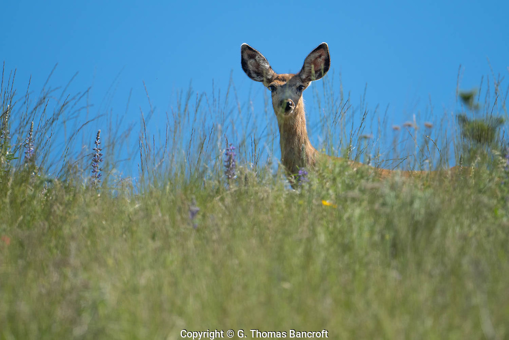 The Mule Deer stood like a stature on the crest of the hill above Mary Anne Creek. Her glare was intense and her ears cocked forward.