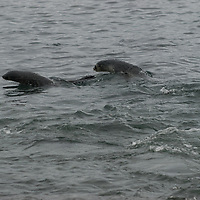 """Young Southern Fur Seals """"porpoise"""" near Prion Island in the Bay of Isles, South Georgia, Antarctica."""