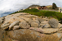 African Penguins, Boulders Beach, Table Mountain State Park, near Cape Town, South Africa