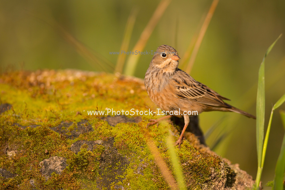 female Cretzschmar's bunting (Emberiza caesia) is a passerine bird in the bunting family Emberizidae, Photographed in Israel in March