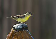 Lesser Goldfinch, Carduelis psaltria