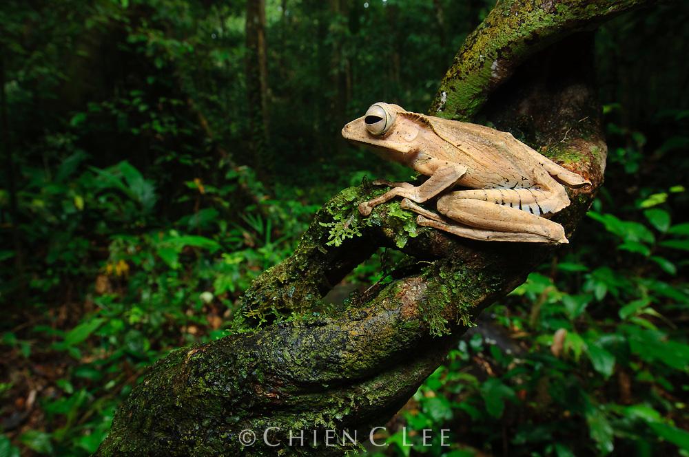 File-eared Tree Frog (Polypedates otilophus). Sarawak, Malaysia (Borneo).