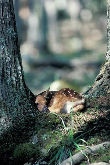 Whitetail Deer, (Odocoileus virginianus) newborn fawn bedded in crook of tree base.